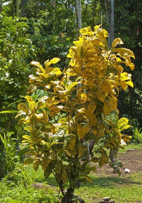 yellow foliage plants blueblood birthdays madang ples bilong mi