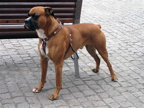 types of boxer dogs boxer all big breeds