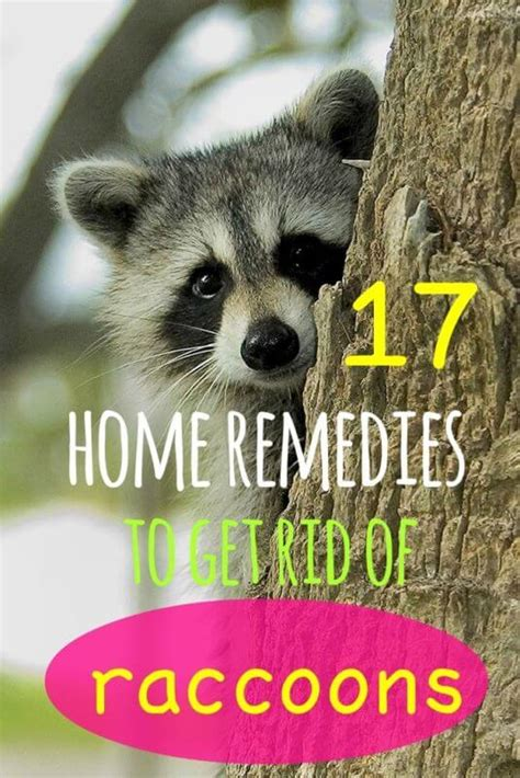 how to get rid of a raccoon in your backyard 17 simple home remedies to get rid of raccoons
