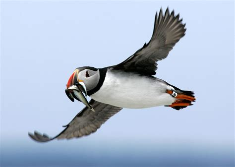 adorable puffins are tougher than they look