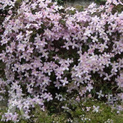 Furniture Home Decor clematis montana elizabeth carndonagh nursery amp garden