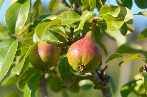 a p fruit growers ontario offering production insurance to tender fruit growers