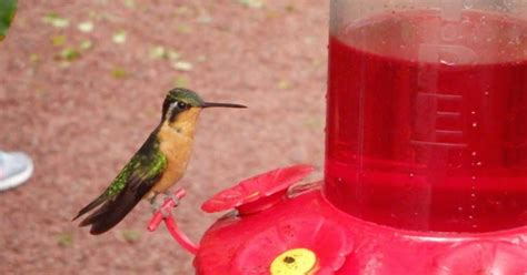 stop feeding red nectar to hummingbirds here s why