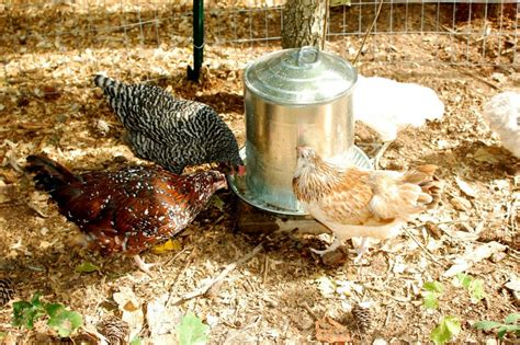 Making Your Chickens Clean Their Plate Reedy Fork Farm What To Feed Backyard Chickens