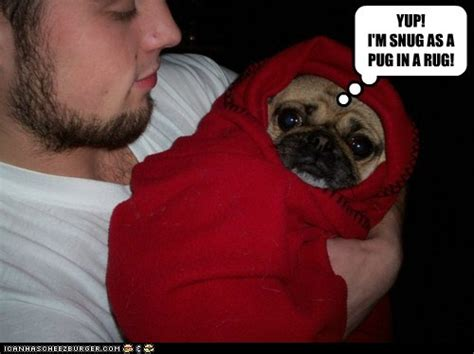 pug snug snug as a pug in a rug dogs