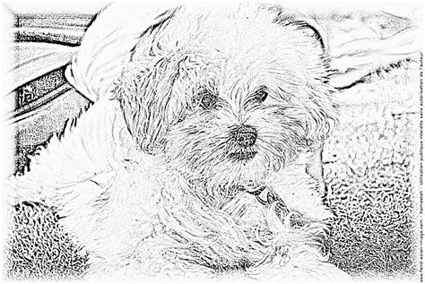 maltese coloring pages coloring pages small dog unknown coloring pages printable free