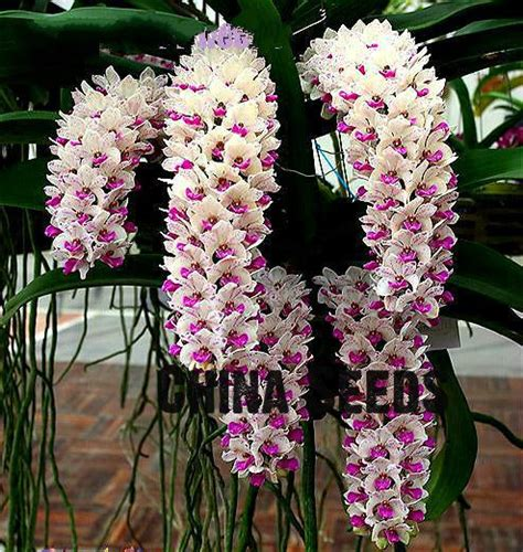 100 facts about orchids 6 incredible flowers that new types perennial phalaenopsis orchid flower seeds 100