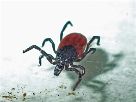 found tick on humbug i gotta get out more news