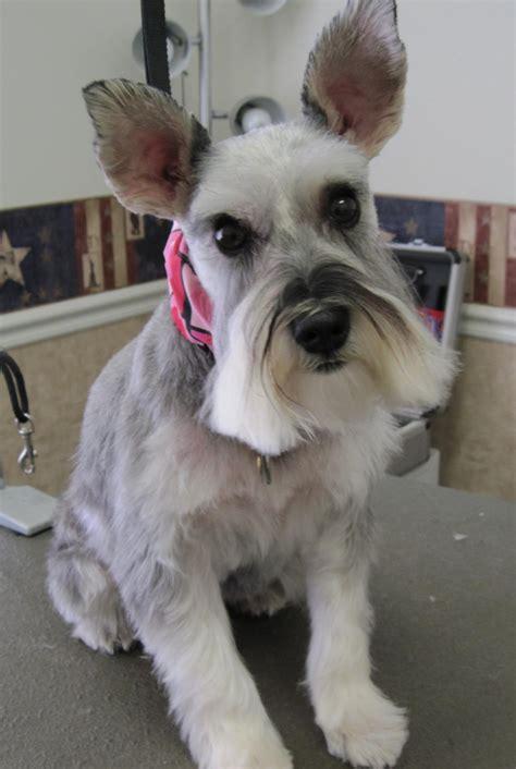 show me some hair cuts for miniature schnauzers magic s pet salon photo gallery