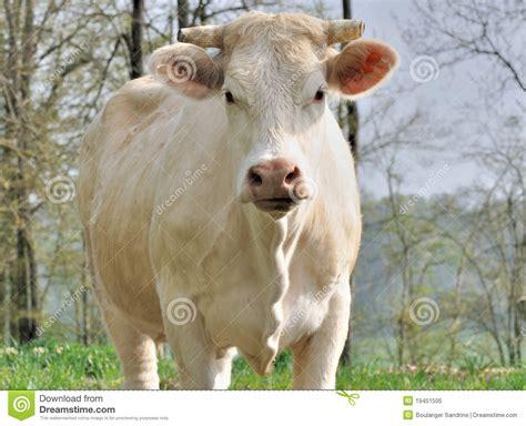 mucca charolaise fronte della mucca del charolais fotografia stock libera