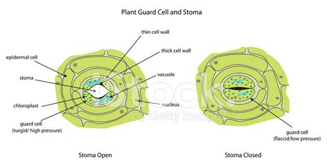 stomata diagram related keywords suggestions for stomata cells