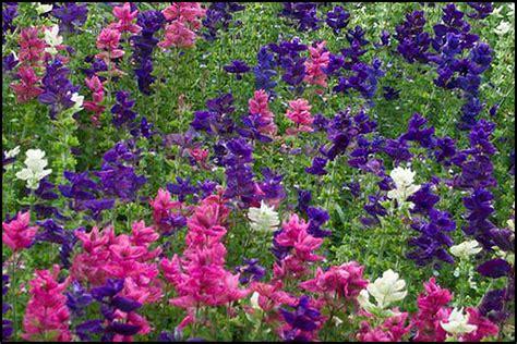 salvia hot lips flowers