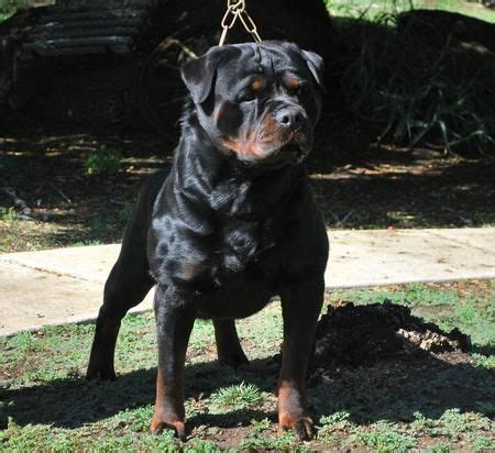 rottweiler inc 17 best ideas about rottweiler puppies on rottweilers baby rottweiler and
