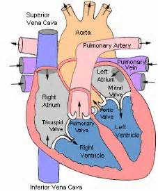 heart cross section diagram eustachian valve heart related keywords eustachian valve