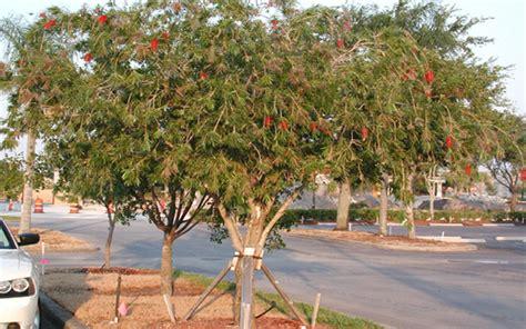 Garden Center Naples Fl Bottlebrush Tree For Sale Naples