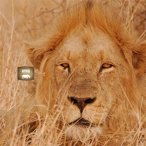 ipad  wallpaper lion