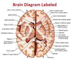 pengertian cross sectional study real human brain diagram gallery how to guide and refrence