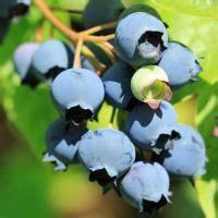 Gartenideen Kleiner Garten 3393 by Die Besten 25 Heidelbeerpflanze Ideen Auf
