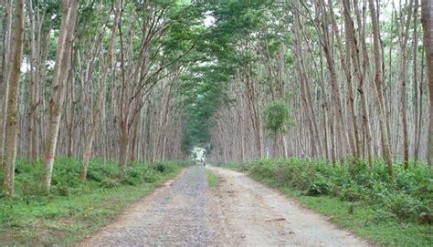 Bibit Sengon Palangkaraya kalimantan tengah galakkan sejuta pohon sengon
