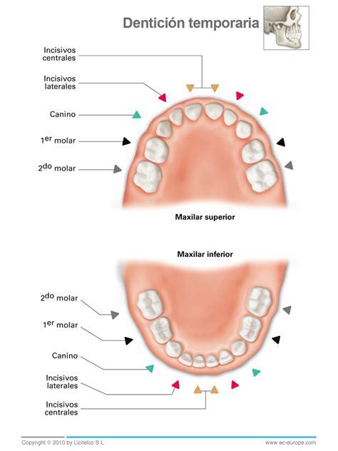 Imagenes Dientes Temporales | anatom 205 a dental y oclusion art 205 culos relacionados