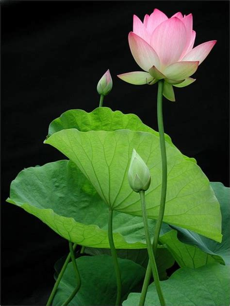 beautiful lotus plant nelumbo nucifera traditional