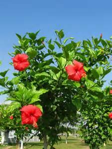 Rose Flowering Plant - hibiscus rosa sinensis china rose world of flowering plants