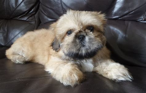 pekingese puppies for sale pekingese puppies for sale