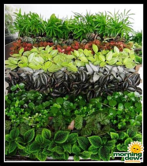 tropical plants for terrariums terrariums morning dew tropical plants