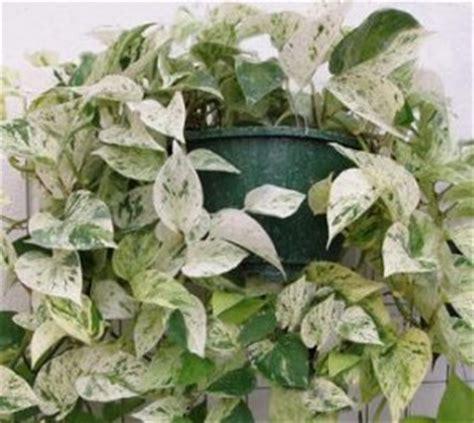 pothos wisconsin horticulture
