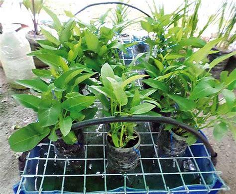 Sukses Bertanam Jambu Biji Jambu Air Di Pekarangan Rumah Kebun hidroponik kangkung di teras rumah bebeja