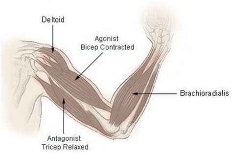 muscles used during bench press agonist and antagonist muscles used in bench press benches