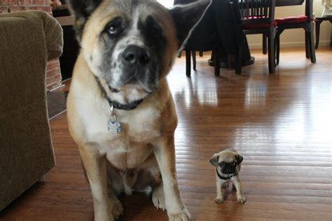 vs puppy big vs tiny puppy daily picks and flicks