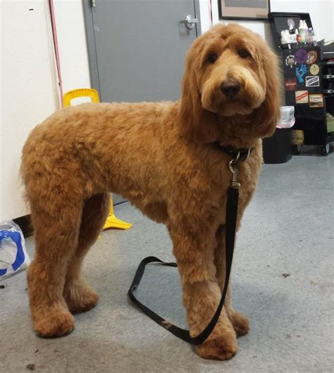 types of dog grooming cuts image result for types of goldendoodle haircuts dog
