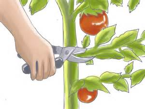 how to prune patio tomatoes 5 steps with pictures