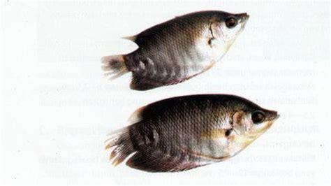 Umur Bibit Ikan Gurame prospek bisnis beragam ukuran benih gurame mata usaha