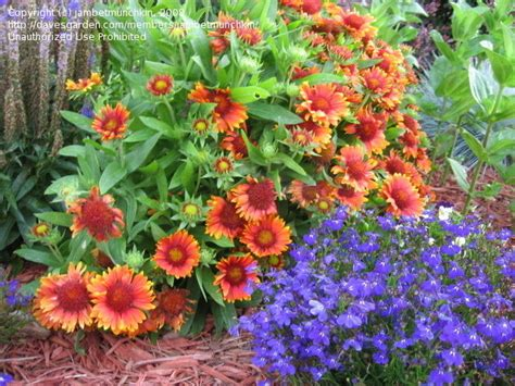 Indian Flower Garden Plantfiles Pictures Gaillardia Blanket Flower Indian Blanket Arizona Sun Gaillardia By