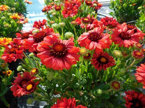 flower plants gaillardia realflor 174 sunset celebration planthaven