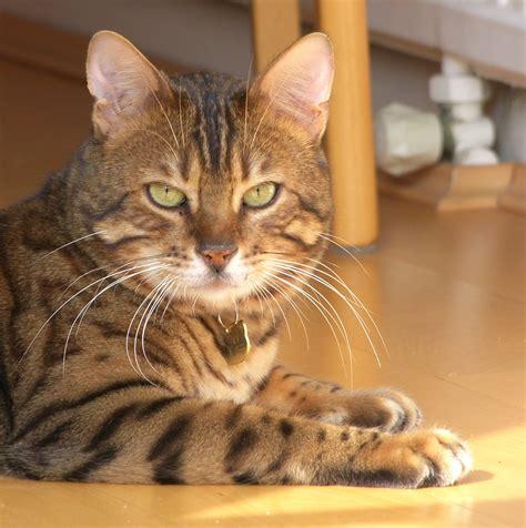 bengal house cat bengal redorbit
