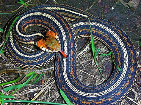 Garden Snake With Stripe Unknown Host