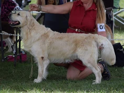 duke golden retriever american imported golden retriever can ch goldensglen duke of glenbern