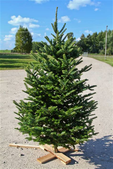 christmas trees that smell like oranges estplant the producer of trees in the baltic countries