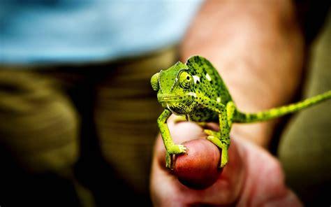 wallpaper little green download wallpaper 1680x1050 little green chameleon hand
