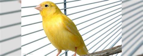 gabbia per canarino guida alla scelta della gabbia per i canarini