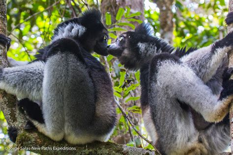 Indri Set indri facts history useful information and amazing pictures