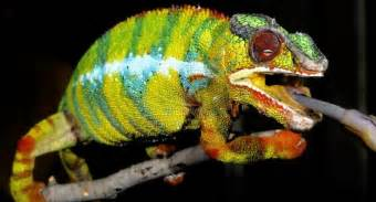 how chameleons change color we were surprised scientists finally figured out
