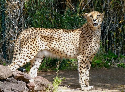 whats the difference between a leopard and a jaguar wildlife difference between leopard and cheetah