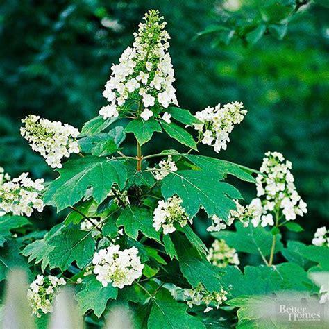 Shrubs for Shady Spots | White flowers, Oak leaves and The ... Oak Leaf Hydrangeas In Winter