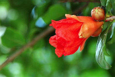 lo è il fiore melograno il fiore melograno the flower of pomegranate orto