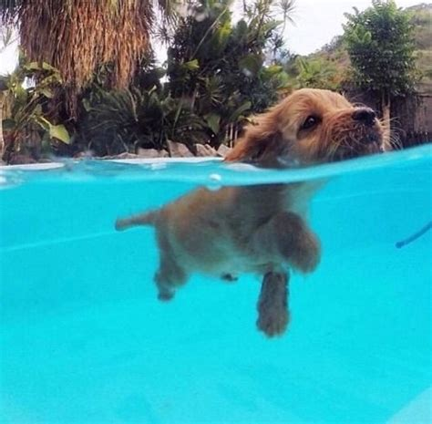 swimmer puppy swimming puppy pictures photos and images for and