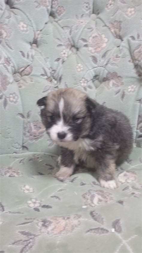 breeders in missouri pomsky puppies for sale in missouri myideasbedroom
